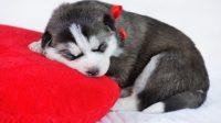 fever reducer for dogs